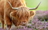 Highland_Cow_Scotland_Tours