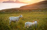 Sheeps Ring of Kerry South Ireland Tours
